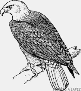 Aguila para Dibujar
