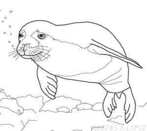 imagenes de focas para colorear