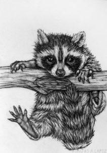 mapache en dibujo