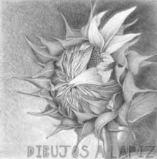 dibujo margarita flor