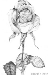 fotos de rosas rojas
