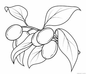 semillas de olivo